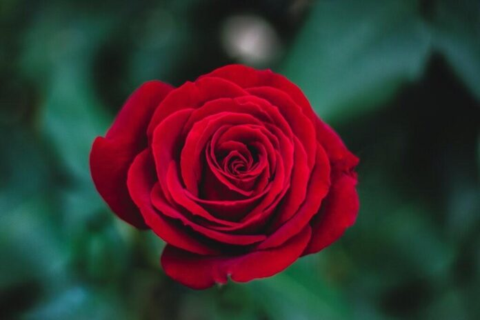 Image of rose which is used in top 10 rose water brands in India